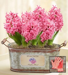 Heavenly Hyacinth + Free Gloves