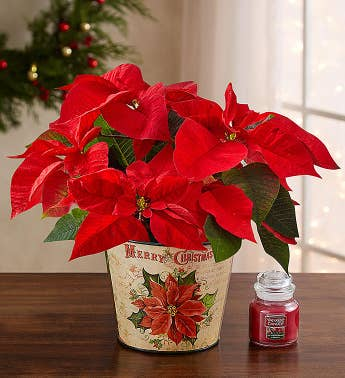 Holiday Traditions Poinsettia Plant