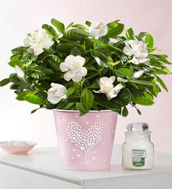 Love Is In The Air Gardenia