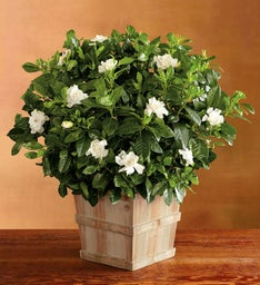 "8"" Everblooming Gardenia"
