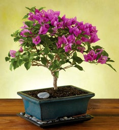 Bougainvillea Bonsai Tree Gift