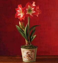 Holiday Minerva Amaryllis