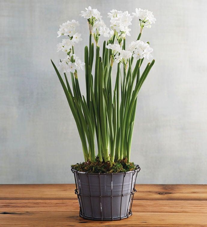 Paperwhites plant gift mightylinksfo