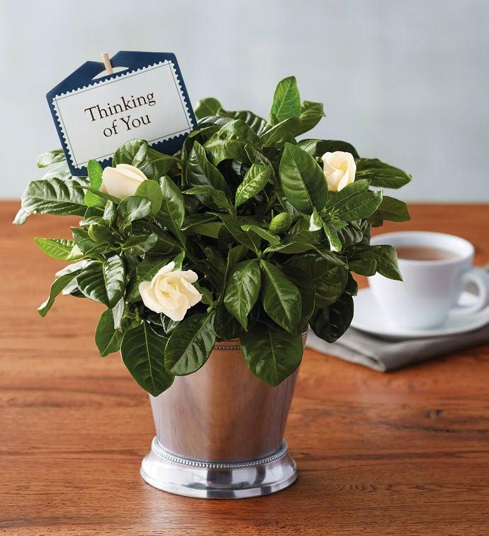 Thinking of You Gardenia