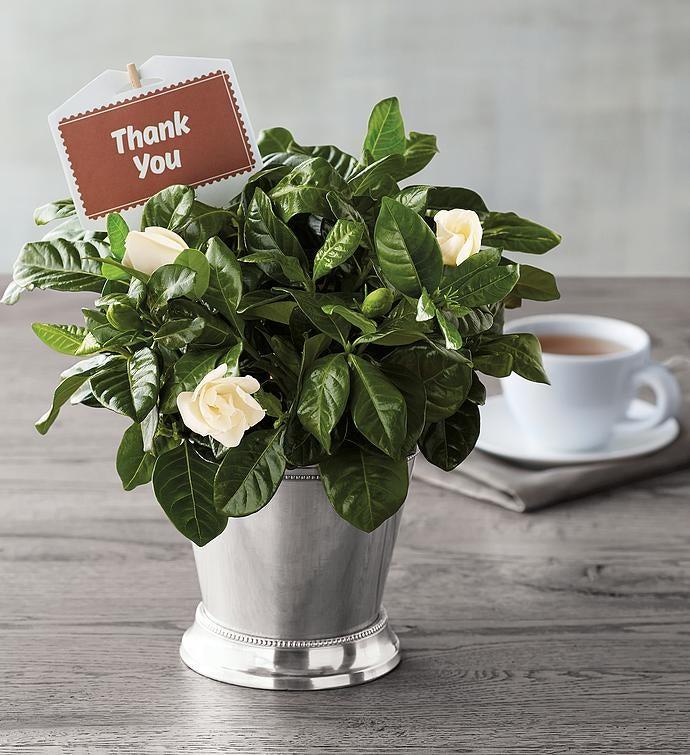 Thank You Gardenia