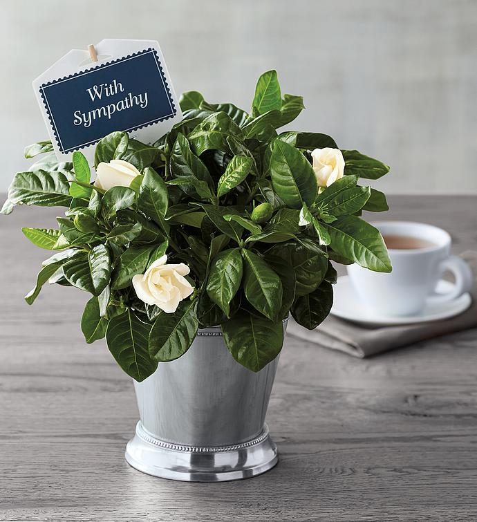 Sympathy Gardenia