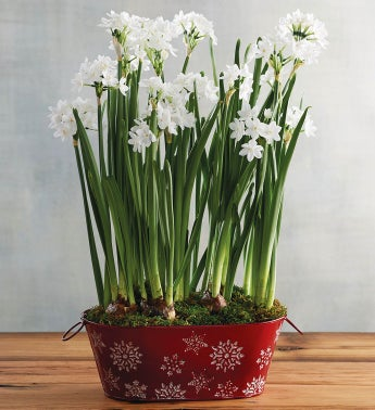 Winter Paperwhites in Red Tin