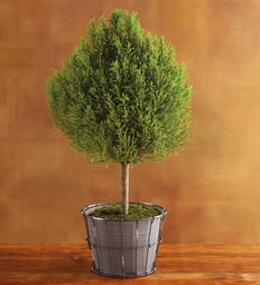 Lemon Cypress Topiary