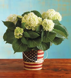 White Hydrangea in Americana Container