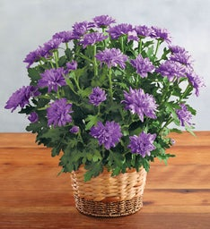 Elegant Purple Chrysanthemum