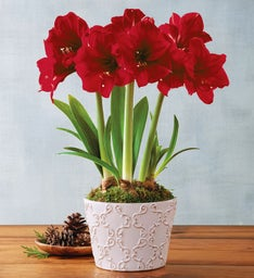 Benefica Amaryllis Triple