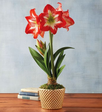 Minerva Amaryllis Single