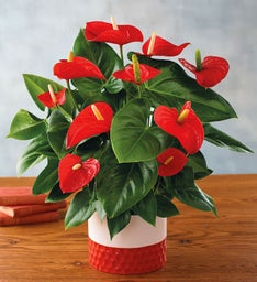"6"" Red Anthurium"