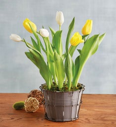 Yellow and White Tulips