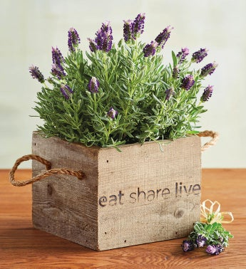 Lavender in Wooden Box
