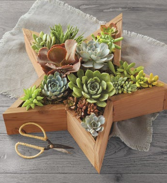 Star Succulents