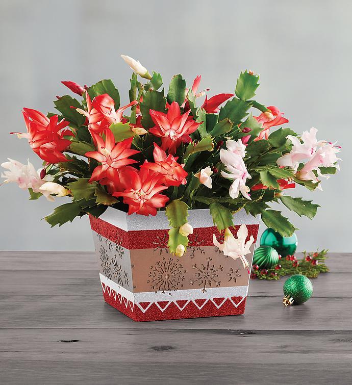 christmas cactus - Christmas Catcus