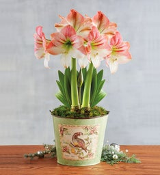 Apple Blossom Amaryllis Double
