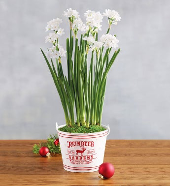 Paperwhites Gift by Harry & David
