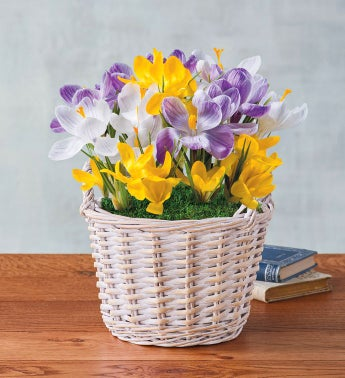 Mixed Crocus Gift