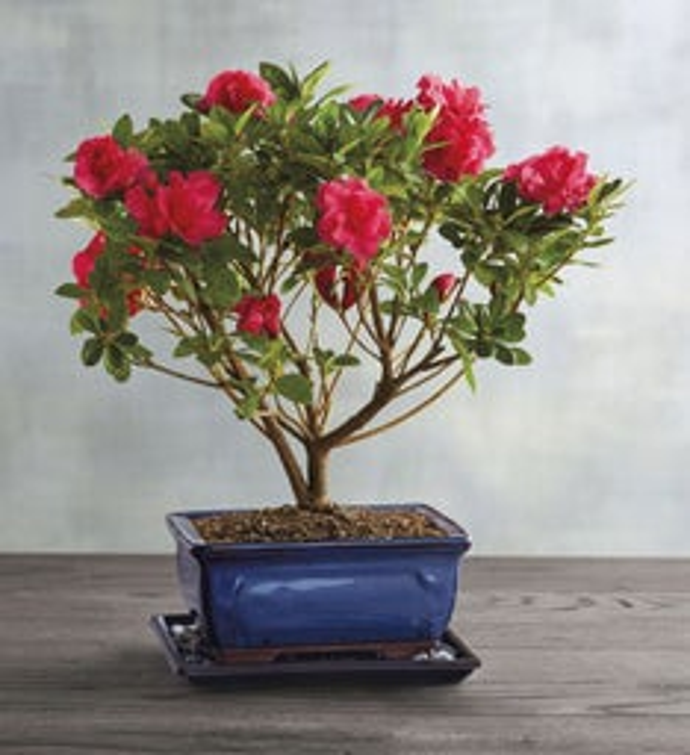 Azalea Bonsai Tree Gift
