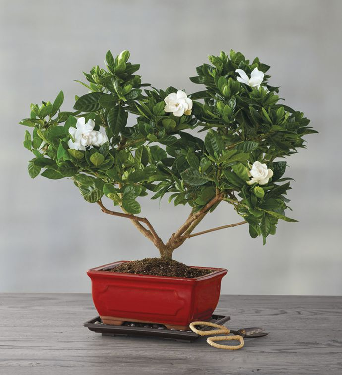Caring For A Gardenia Bonsai Tree Bonsai Tree