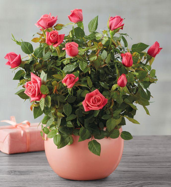 Baby Girl Mini Rose