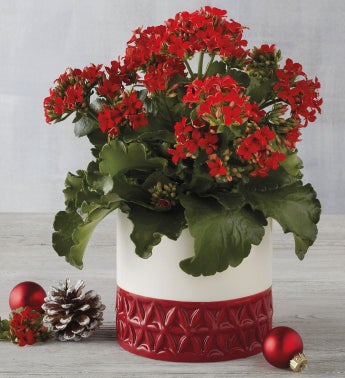 """4"""" Red Kalanchoe"""