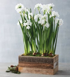 Paperwhites in Reclaimed Box