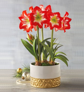 Amaryllis Gifts Amaryllis Plants Bulbs Harry David