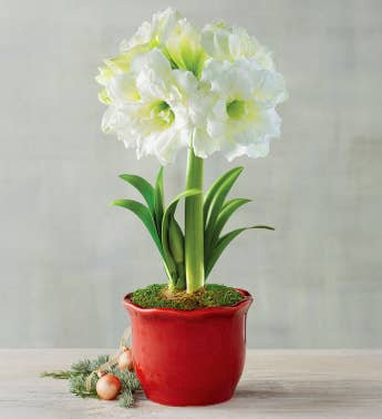White Ruffle Amaryllis Single