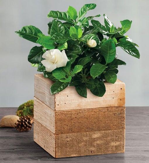 "4"" Gardenia"
