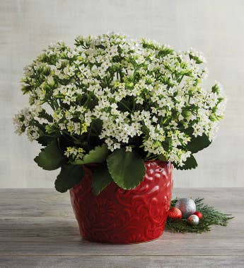 Holiday White Kalanchoe
