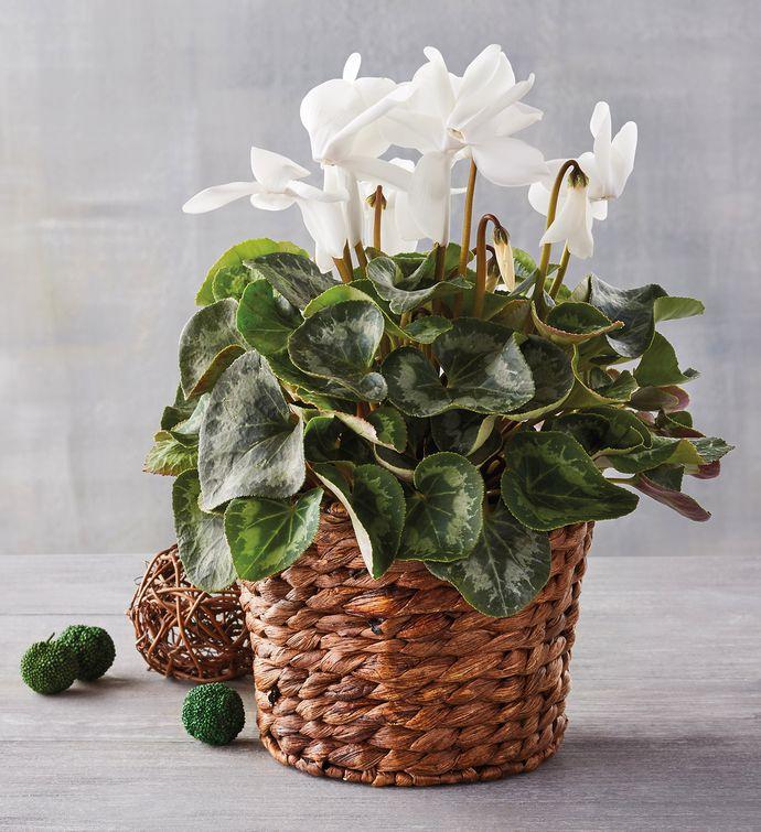"4"" White Cyclamen in Hyacinth Basket"