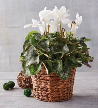 434 White Cyclamen in Hyacinth Basket