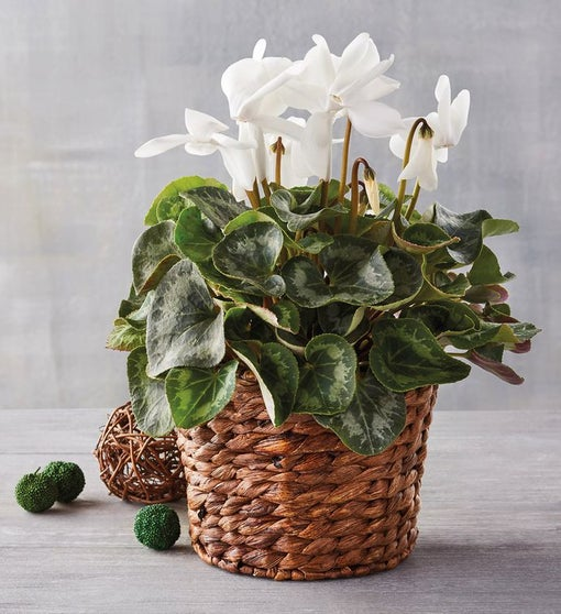 "4"" White Cyclamen in Hyacinth Basket"