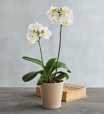 "3"" White Orchid"