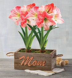 Mothers Day Apple Blossom Amaryllis Gift