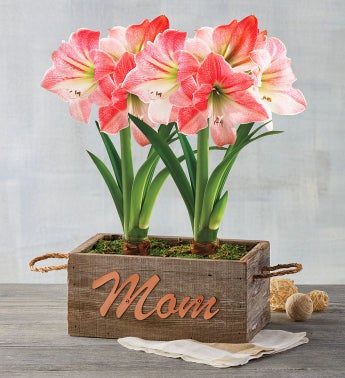 Mother39s Day Apple Blossom Amaryllis Gift