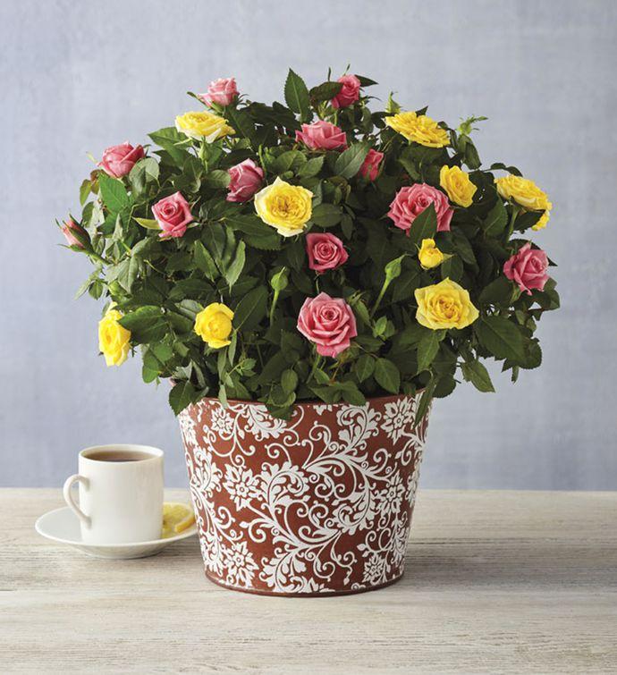 Spring Mini Rose Plant Gift