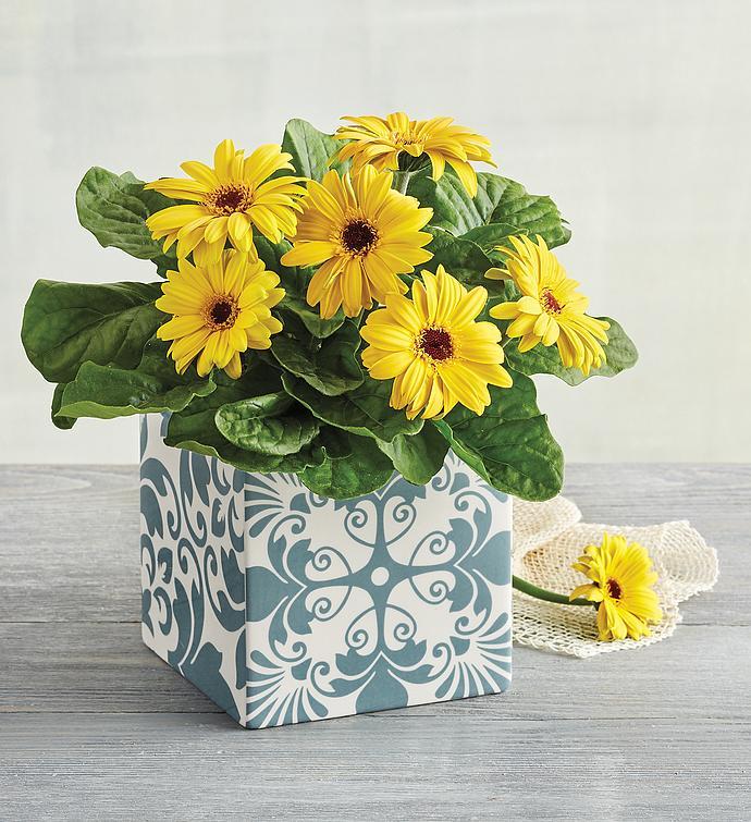 Gerbera Daisy Plant Gift