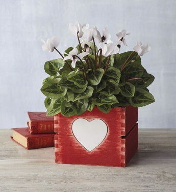 "4"" White Cyclamen in Heart Crate"