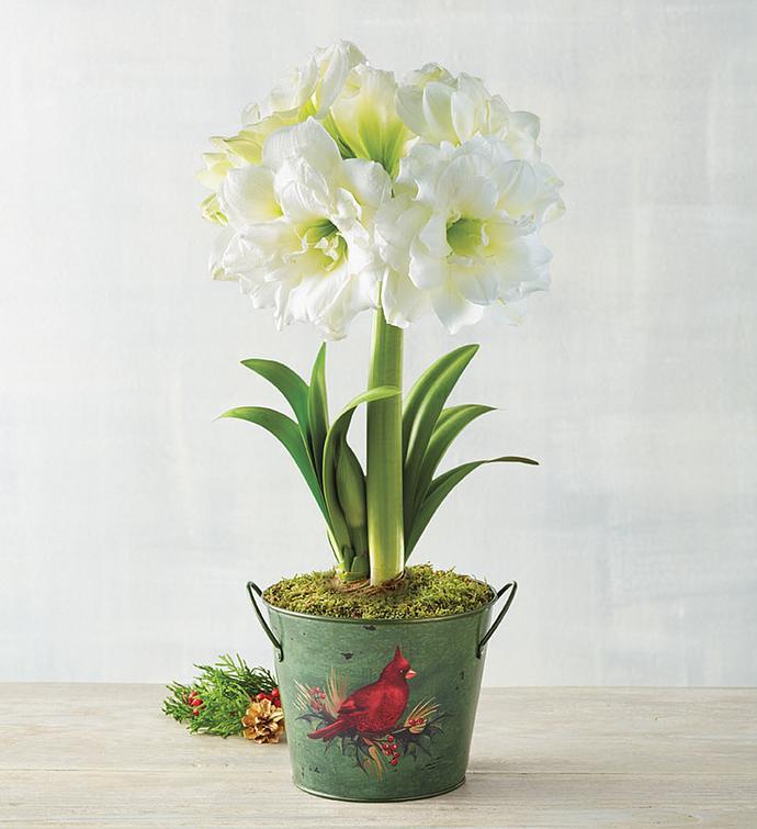 White Ruffle Amaryllis Single