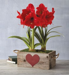 Valentines Day Red Lion Amaryllis Double