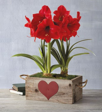 Valentine's Day Red Lion Amaryllis Double