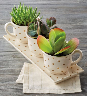 Tea Cups with Succulents