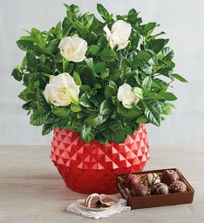 "6"" Gardenia with Truffles Gift"