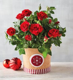 "6"" Holiday Red Mini Rose"