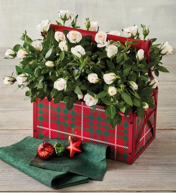 Holiday Mini Rose Double