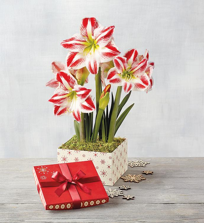 Candy Cane Amaryllis - Double